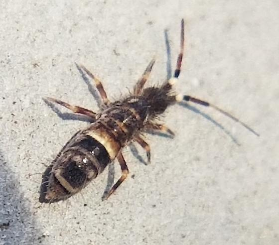 Decent sized railing springtail - Orchesella cincta - male