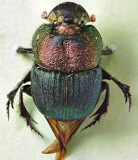 Rainbow Scarab.. - Phanaeus - female