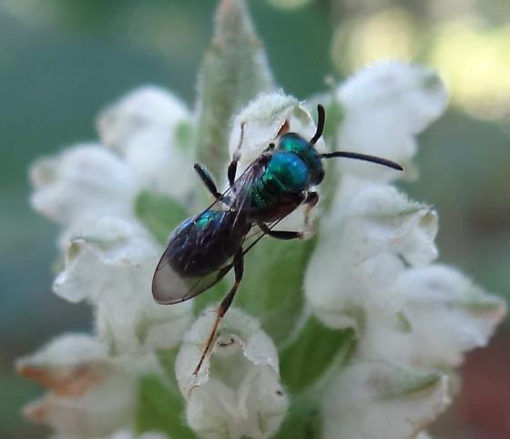 Small Green Bee Pollinating Goodyera pubescens - male