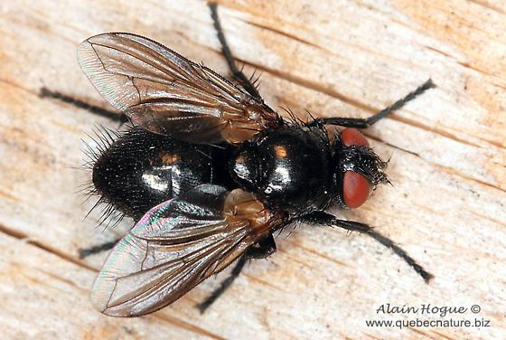 Lauxaniidae ? - Loewia foeda - female