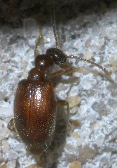 Small, brown beetle - Tomoderus