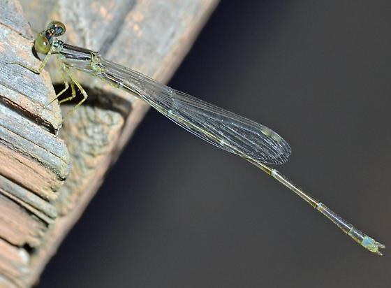 Damselfly - Enallagma signatum - male