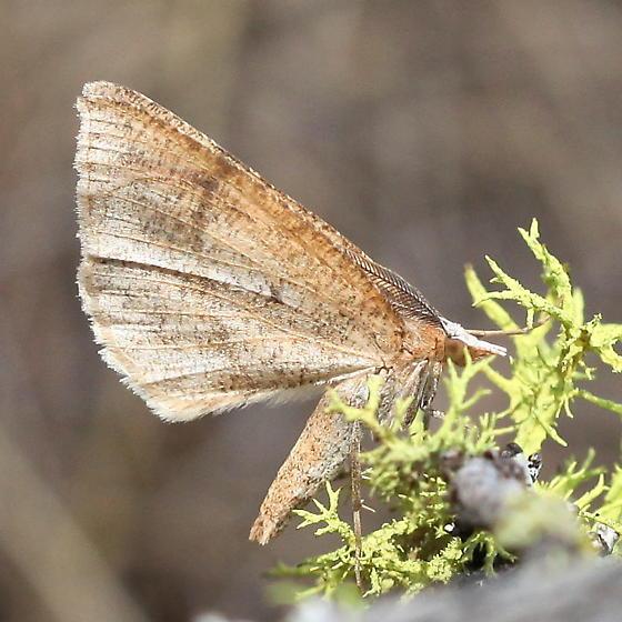 Geometridae: Sericosema juturnaria - Sericosema juturnaria