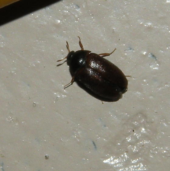 small brownish black bug   Attagenus   BugGuide Net. Similiar Long Snout Small Black Bugs In House Keywords