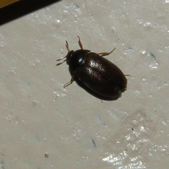 Small Brownish Black Bug Attagenus Bugguide Net