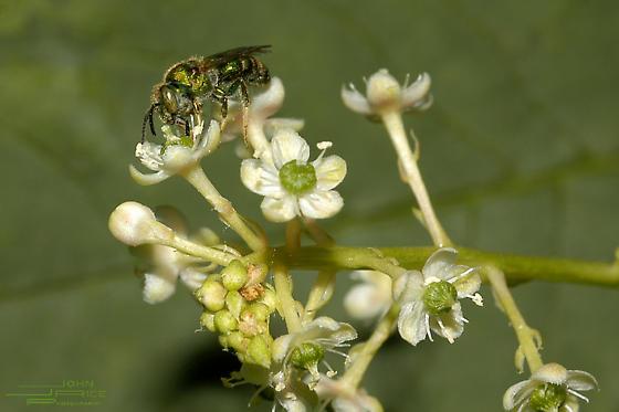 ? green metallic bee? (?) gathering nectar from Pokeweed (Phytolacca americana) flowers - Augochloropsis metallica