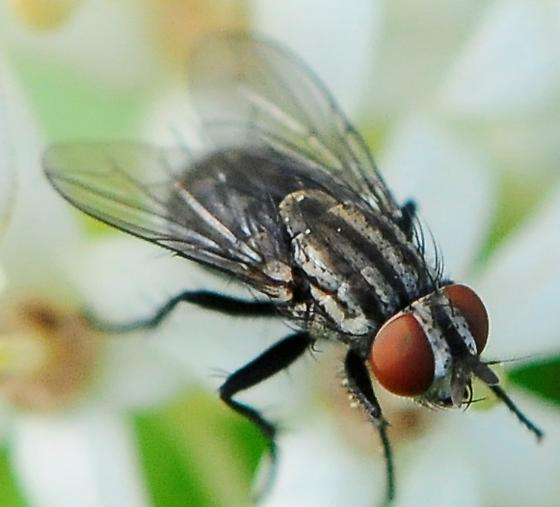 Diptera - Flies