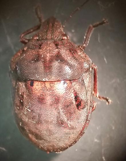 Scutelleridae - Tetyra bipunctata