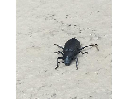 Mysterious Black Bug