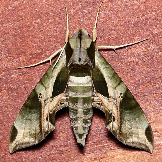 Eumorpha pandorus  - Eumorpha pandorus