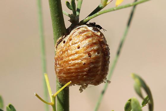 Gall? - Stagmomantis gracilipes