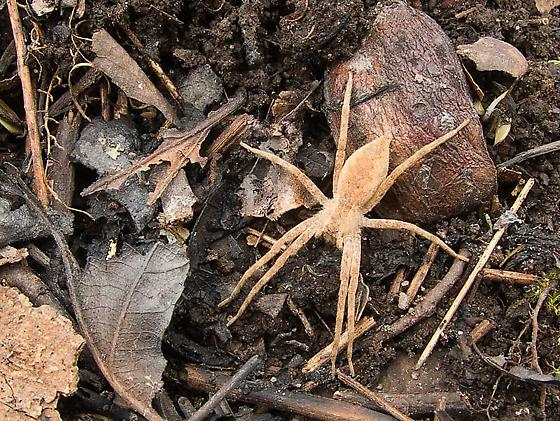 Ground spider? - Pisaurina mira