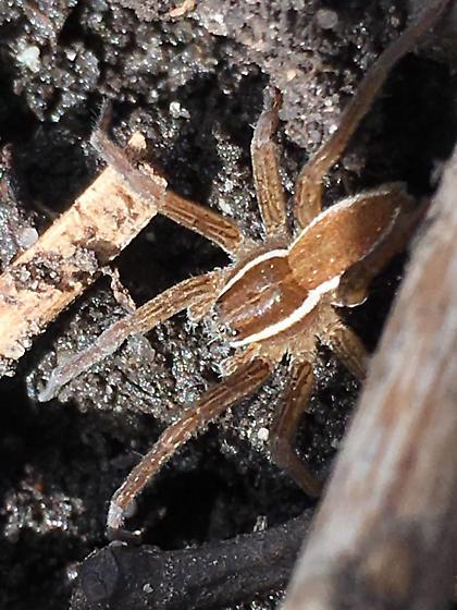 Spider - Dolomedes triton