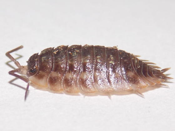 Sowbug?  - Oniscus asellus