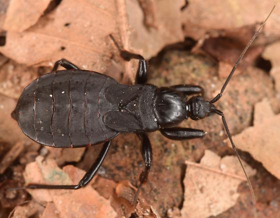 bug - Melanolestes picipes