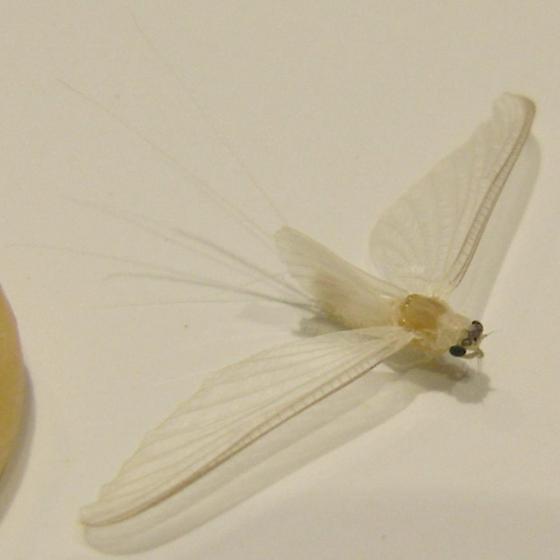 White Mayfly -  Maccaffertium? - Ephoron album - female