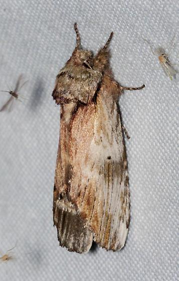 Oligocentria semirufescens