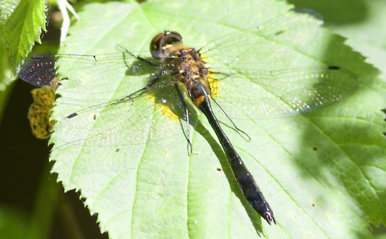 dragonfly at Lake Itasca  - Dorocordulia libera - female