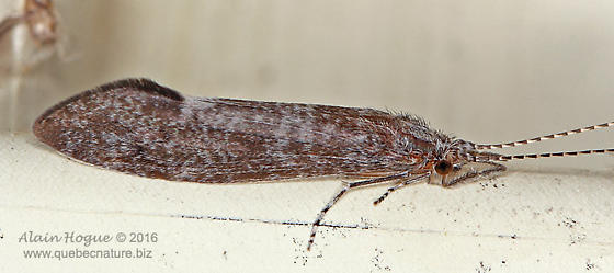 Trichoptera - Ceraclea