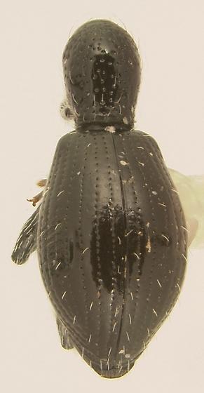 Myrmex floridanus