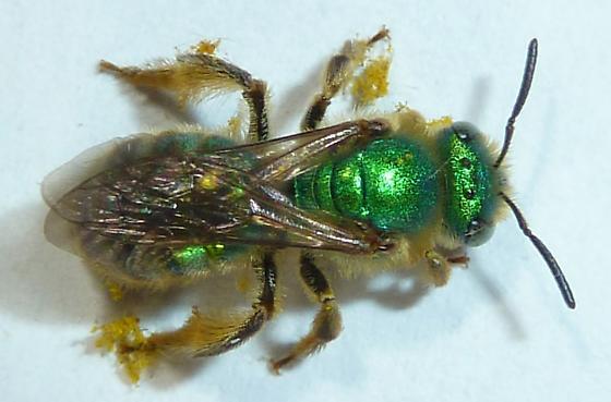 Agapostemon texanus? - Agapostemon texanus - female