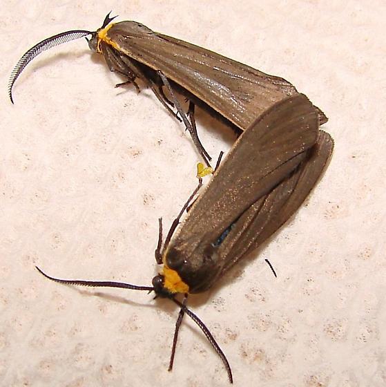 Moths - Cisseps fulvicollis - male - female