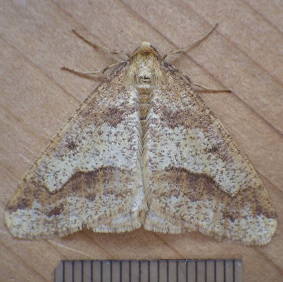 Geometridae: Erannis tiliaria - Erannis tiliaria - male