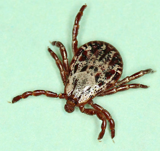 Rocky Mountain Wood Tick - male - Dermacentor andersoni - male