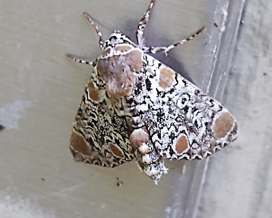 Harris's Three Spot (Harrisimemna trisignata)