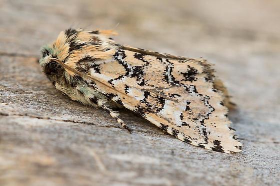moth - Feralia jocosa
