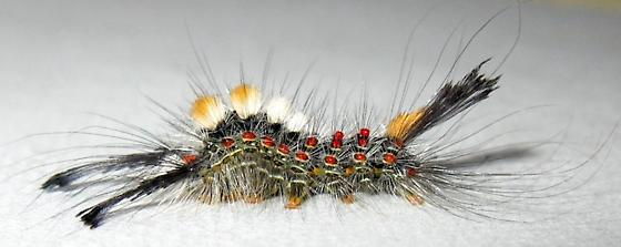 Tussock Moth Caterpillar - Orgyia pseudotsugata