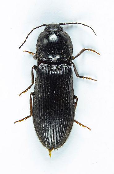Big Black Clicker - Hemicrepidius morio - female