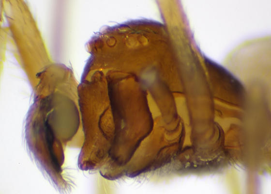 Face (BG:523240) - Emblyna cruciata - male