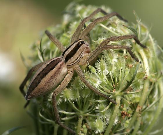 Nursery Web Spider? - Rabidosa rabida
