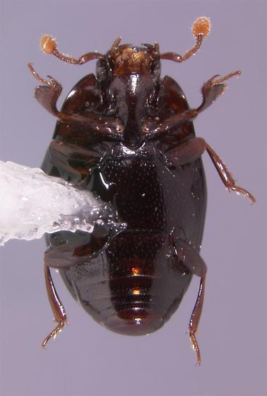 Paromalus (s.str.) seeversi (Wenzel 1936) - Paromalus seeversi