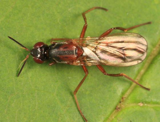 fly - Loxocera cylindrica