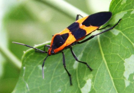 milkweed bug ? - Oncopeltus fasciatus