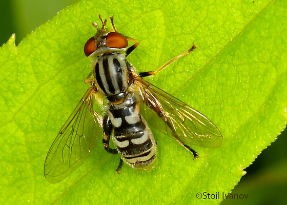 unknown fly - Lejops