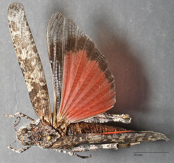 Acrididae - Xanthippus sp? - Cratypedes lateritius - female