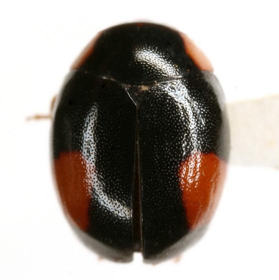 Hyperaspis MAQ sp. 2 - Hyperaspis