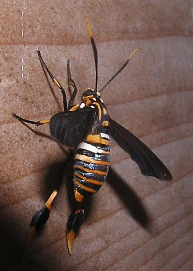texas wasp moth - Horama panthalon