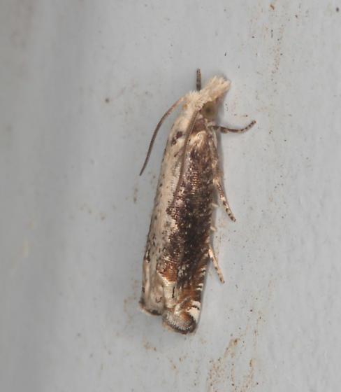 Olethreuntinae