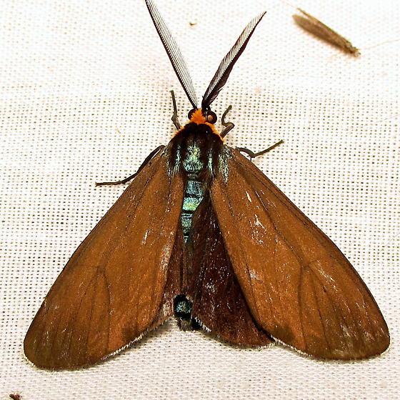 Tiger - Ctenucha virginica