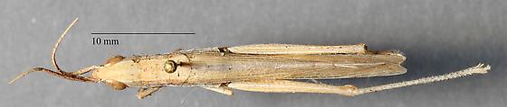 Acrididae - Paropomala sp? - Paropomala - female
