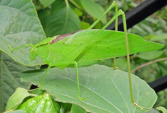 Oblong-winged Katydid - Amblycorypha oblongifolia
