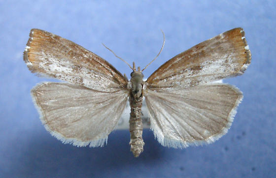 Pediasia truncatellus  - Pediasia truncatellus