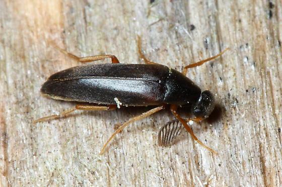 Wedge-shaped Beetle - Pelecotoma flavipes - male