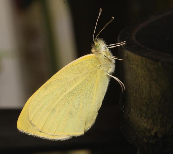 Pieridae, Cabbage White - Pieris rapae
