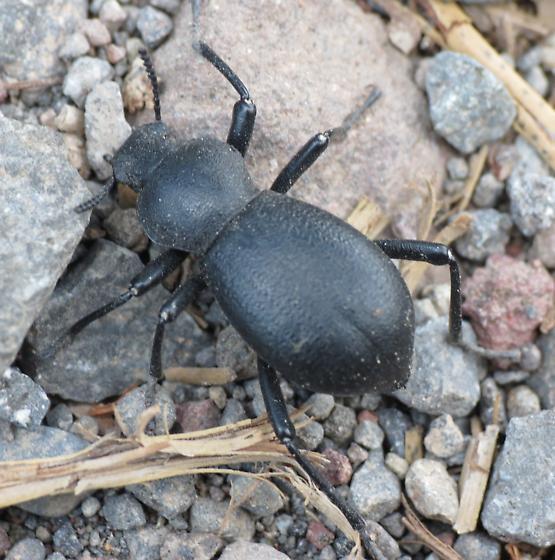 Lassen Beetle 5 - Coelocnemis rugulosa
