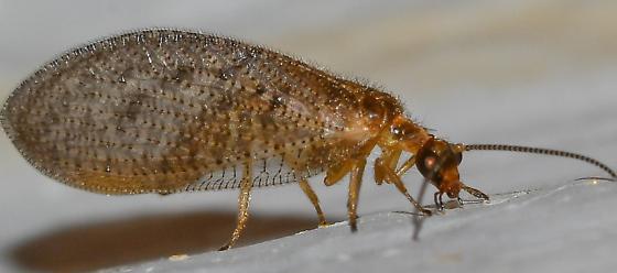 lacewing? - Hemerobius